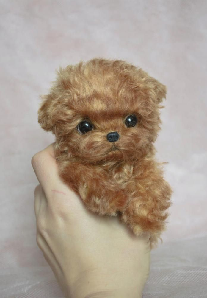 Red poodle puppy by Home Fellows on Tedsby