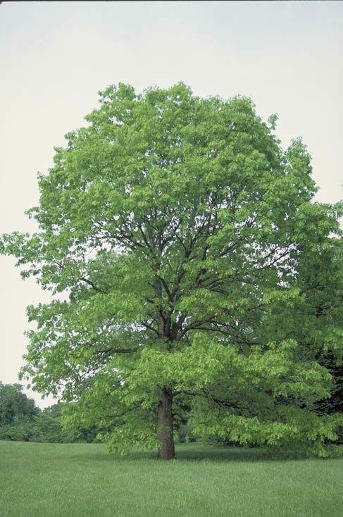 illinois state tree white oak illinois pinterest illinois state
