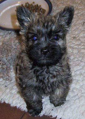 Home Of Shearwater Cairn Terriers Puppies Cairn Terrier