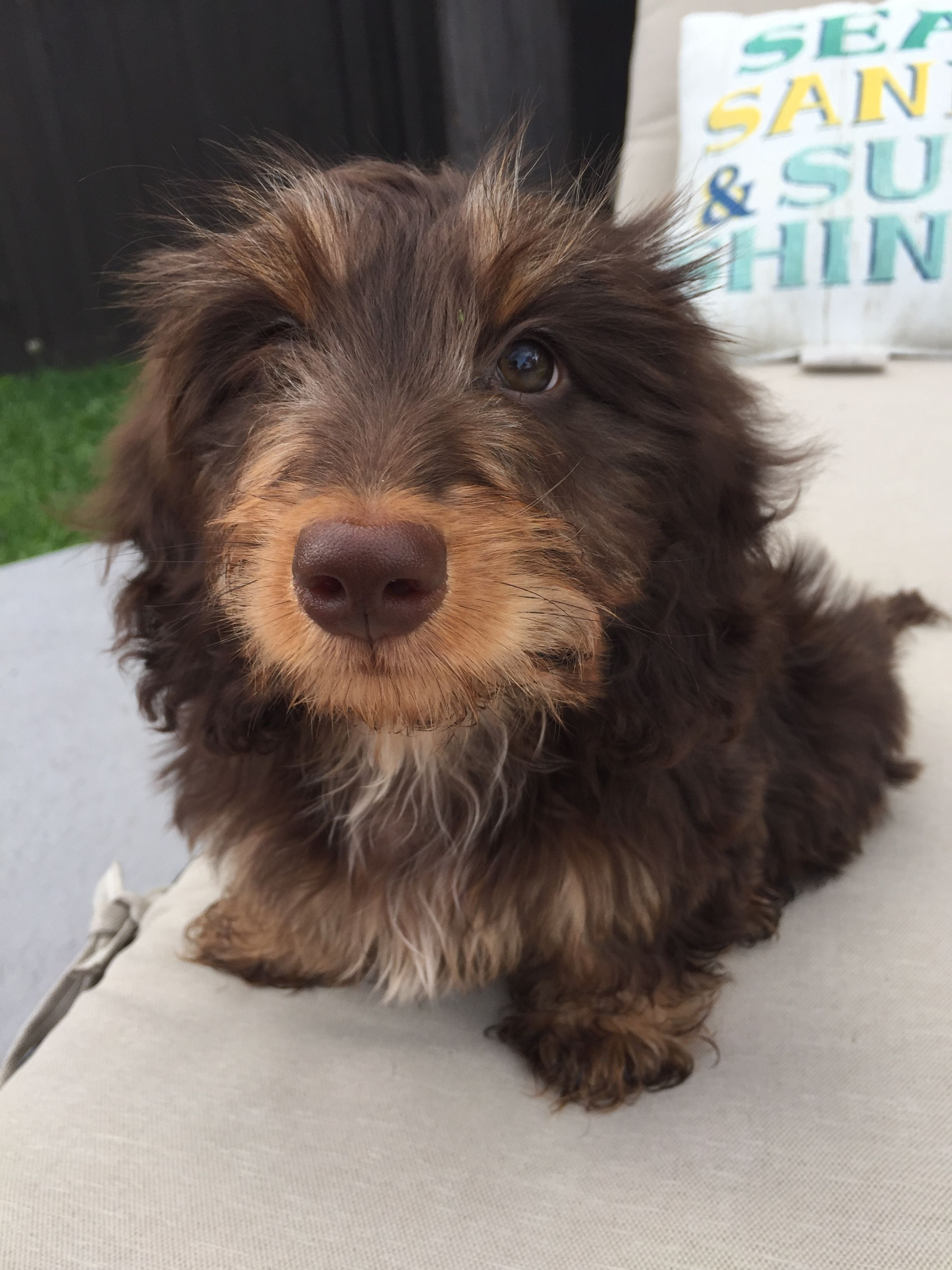 Silky Wire Dachshund To The Cutest Power Dog Face Fluffy