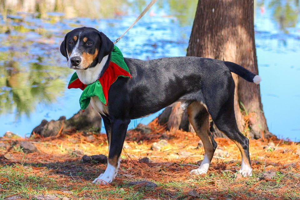 Adopt Barney on Entlebucher mountain dog, Dog adoption