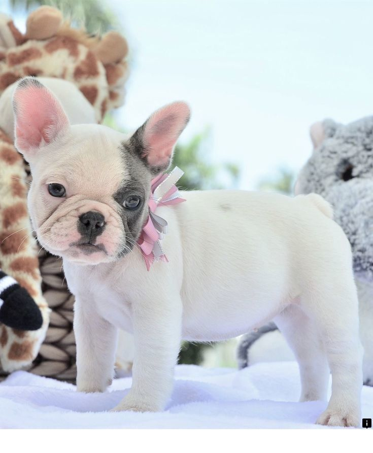 Black Pug Puppies For Sale Florida References