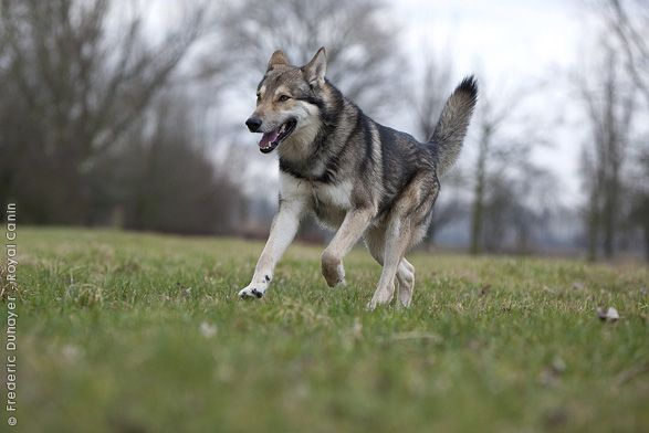 SAARLOOS WOLFHOND/DUCH WOLFHOND