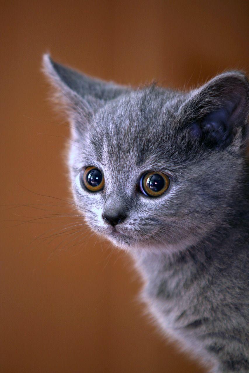 Cat Animal Cute In 2020 Kittens Cutest Cat Spray British Blue Cat