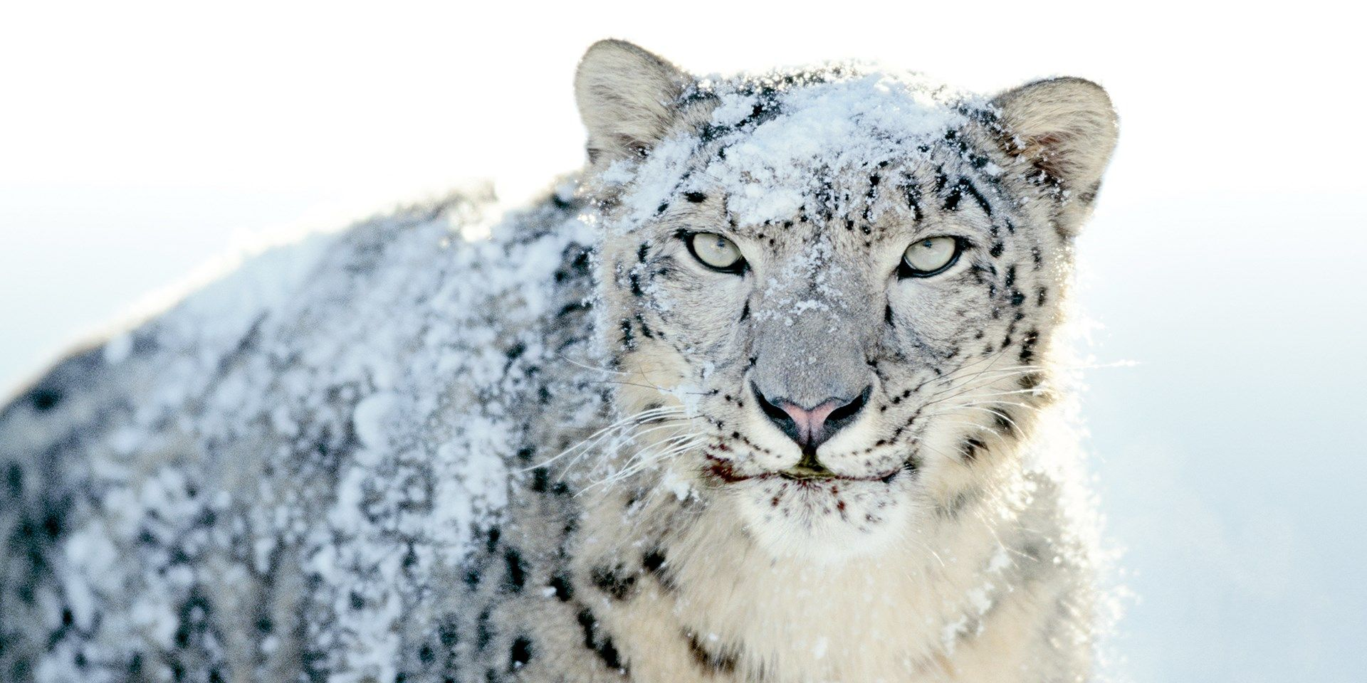 Image Result For National Geographic Photo Of Snow Leopards With Images Leopard Pictures Snow Leopard Pictures Snow Leopard Wallpaper