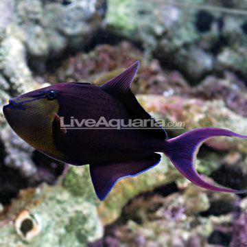 Niger Triggerfish Google Search