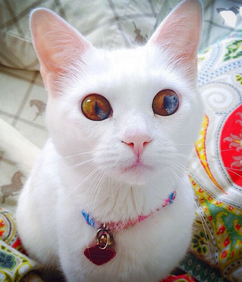 A Pretty Cat Named Jumper Has Different Colored Eyes A Condition - This cat has the most amazing multi coloured eyes ever