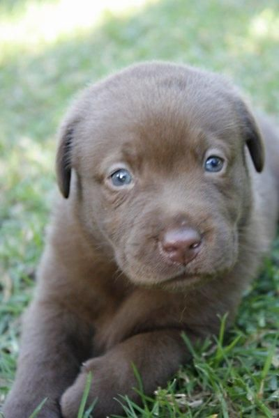 Lab Puppies Are The Cutest Chocolate Lab Puppies Lab Puppies Lab Puppy