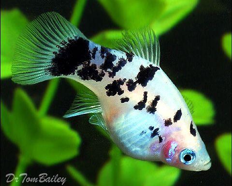 Dalmatian Platy Platy Fish Aquarium Fish Pet Fish
