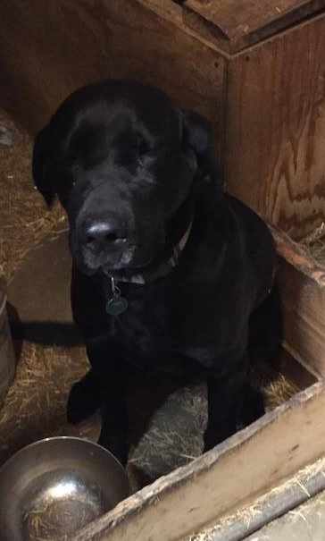 Lost Dog Rosemount Labrador Retriever Male Date Lost 07 27