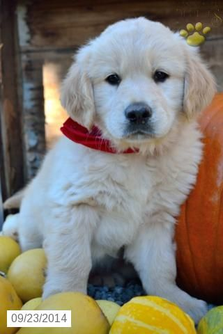 Golden Retriever Puppy For Sale In Ohio Puppies For Sale Golden