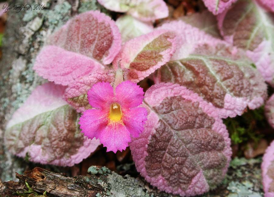 Episcia 'Pink Smoke' in bloom in a more natural planting in a tray.