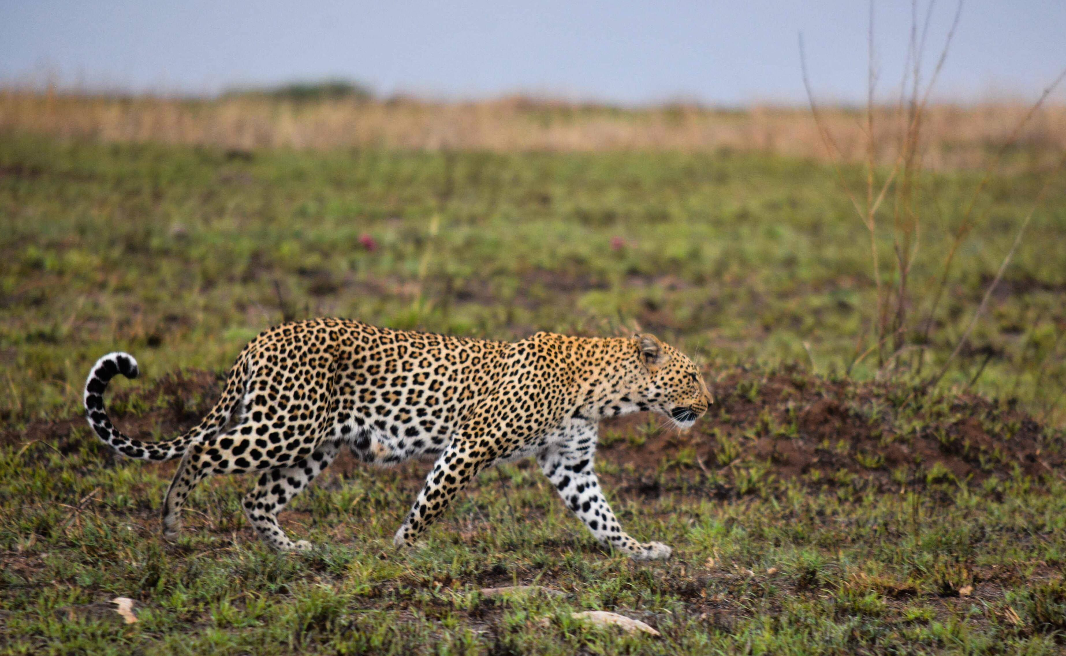 Leopards Normally Hunt At Night And Dusk Staying In