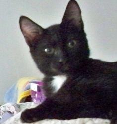Adopt Mason On Kitten Adoption Kitten Rescue Cats