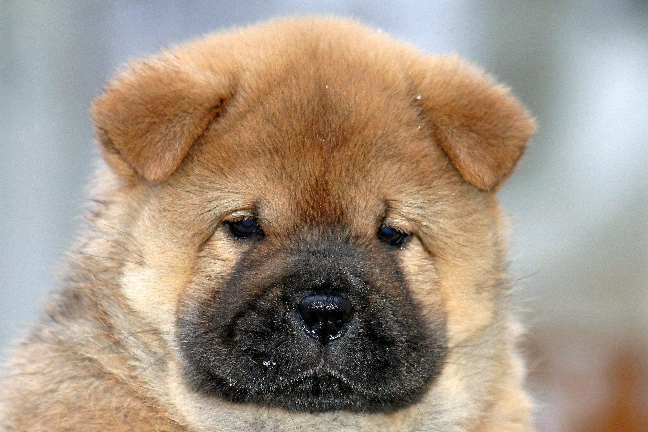 Red Chow Puppies Galleries Related Black Chow Chow Puppies