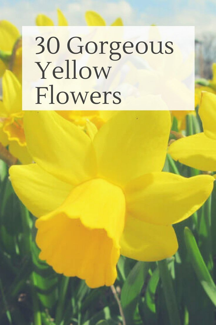 30 Vibrant Types Of Yellow Flowers For Your Yard A To Z Flowers