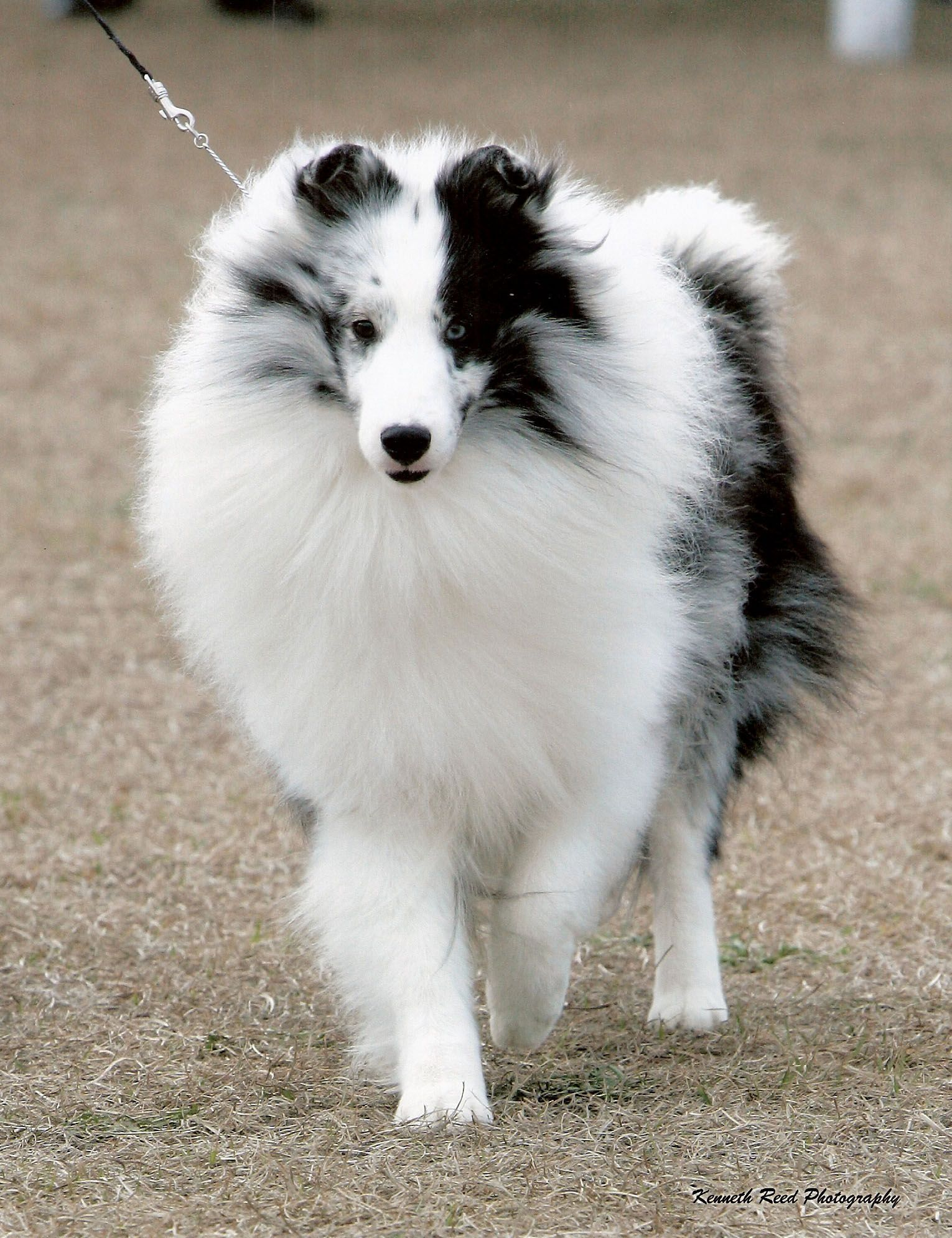 Can you guys tell me all you know about Shetland Sheepdog