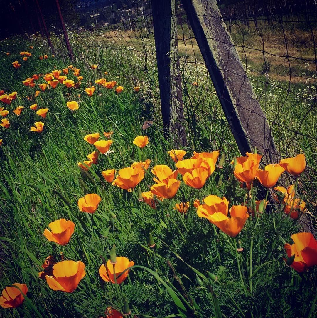 California golden poppies dense spring poppy sunnyday california golden poppies dense spring poppy sunnyday california state mightylinksfo