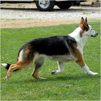 This Is A Panda German Shepherd A Regular 100 Pure Breed German Shepherd But With A Coloring Called Panda Crazy Dogs I Want To Own D Pinterest Ge