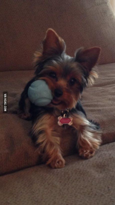 This Ball Tastes Good Yorkie Dogs Yorkshire Terrier Yorkshire Terrier Puppies