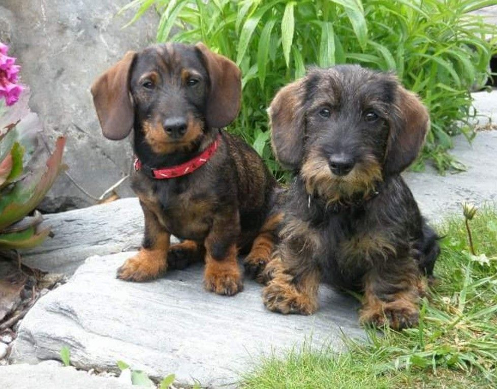 Pin By Jeri Hadley On Doxie Love Wirehaired Dachshund Puppy