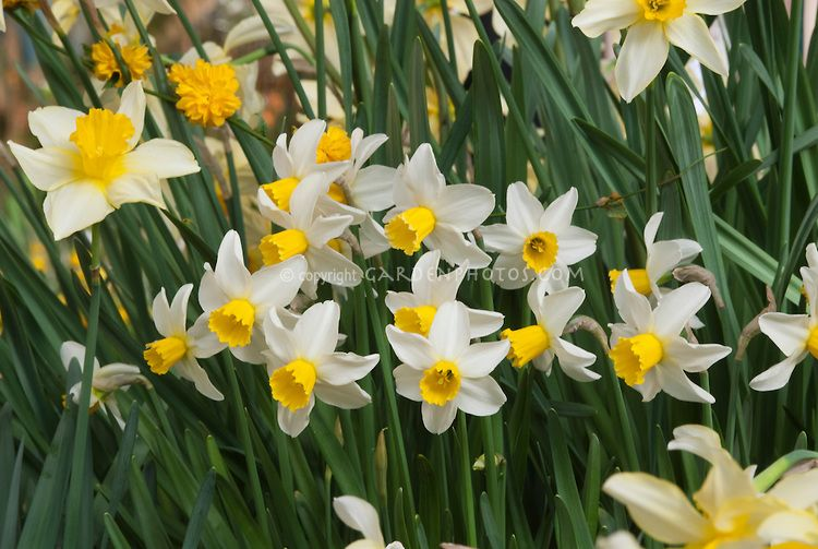 Narcissus Jack Snipe Daffodil Flower Stock Photography Garden Bulbs Narcissus
