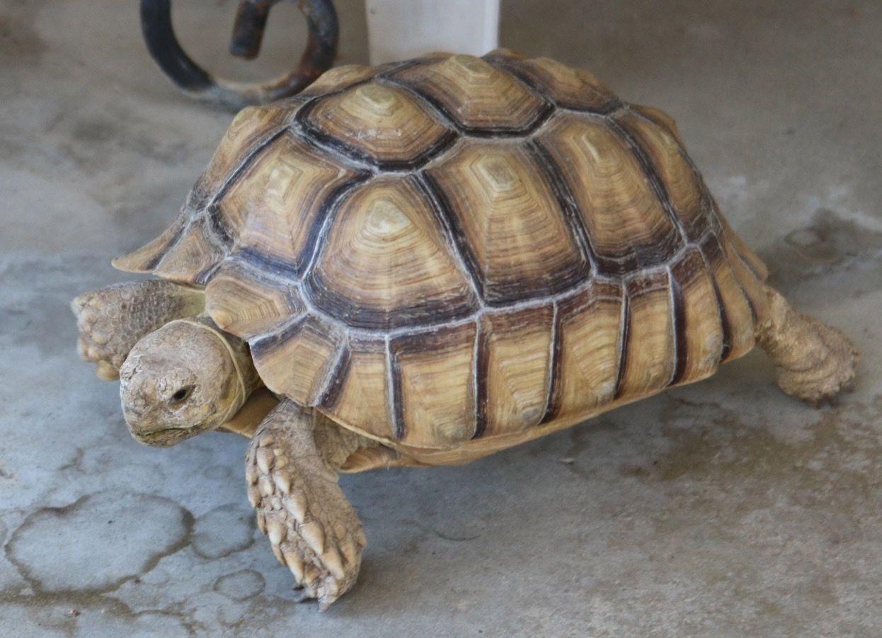 April, the Sulcata tortoise. Sulcata tortoise, Tortoise