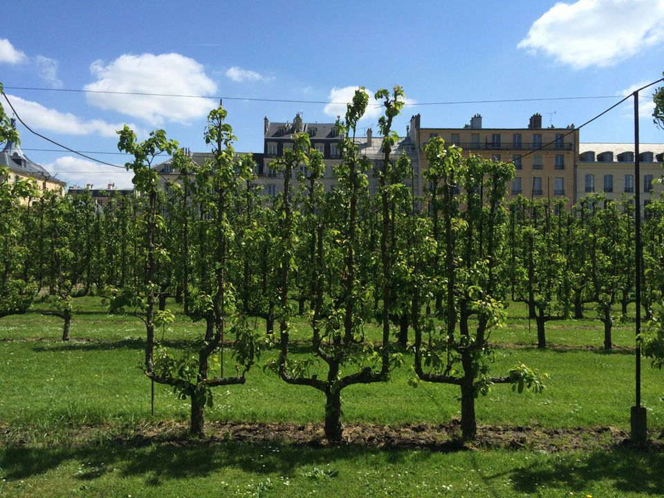 Visiting The Palace Of Versailles Kitchen Garden Espaliers Pears And Edible Flowers Photos Kitchen Garden Edible Flowers Espalier Fruit Trees
