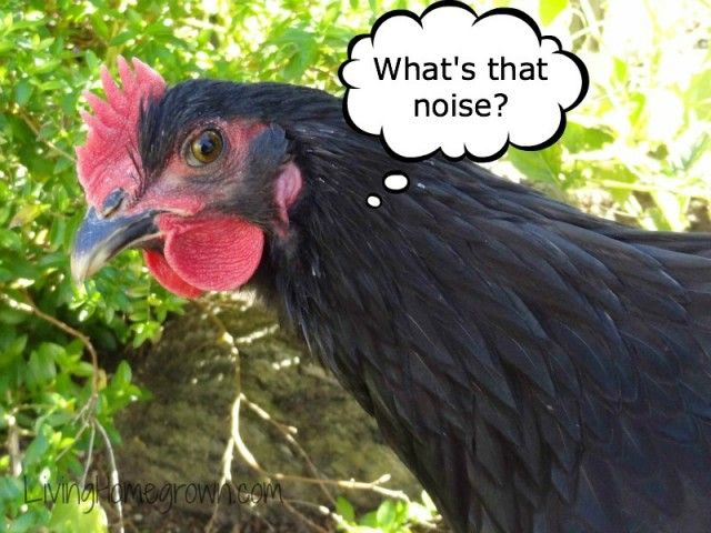 "RAISE: What to do when your backyard ""hen"" is a rooster - from Living Homegrown blog"