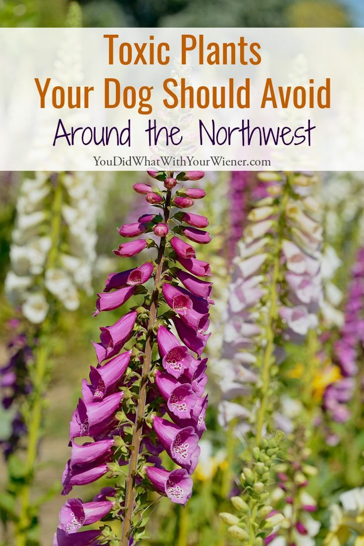 Washington's Toxic Plants Your Dog Should Avoid (With