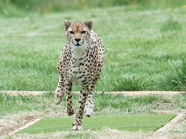 How Cheetahs Can Gallop Faster Than Greyhounds (Video). A recent study looks into how cheetahs can run at great speeds. (Jim Usherwood)
