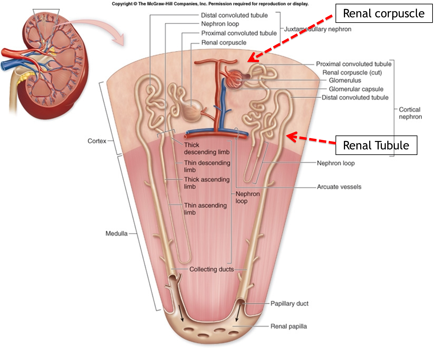 Human Anatomy Diagram Kidney Internal Organs Health Medicine And