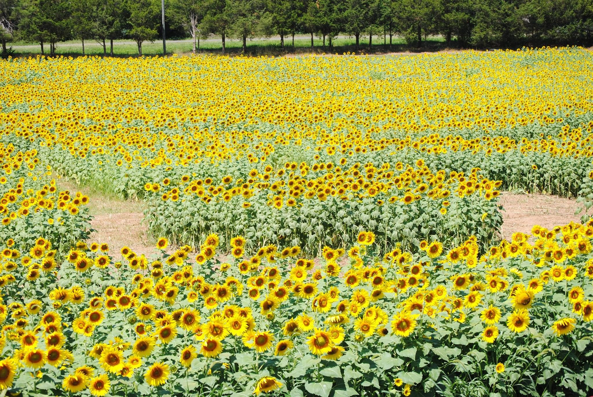 Burnside Farms Has The Best Sunflower Field In Virginia
