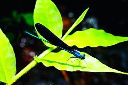 Dragonfly. Blue metalic photo by me