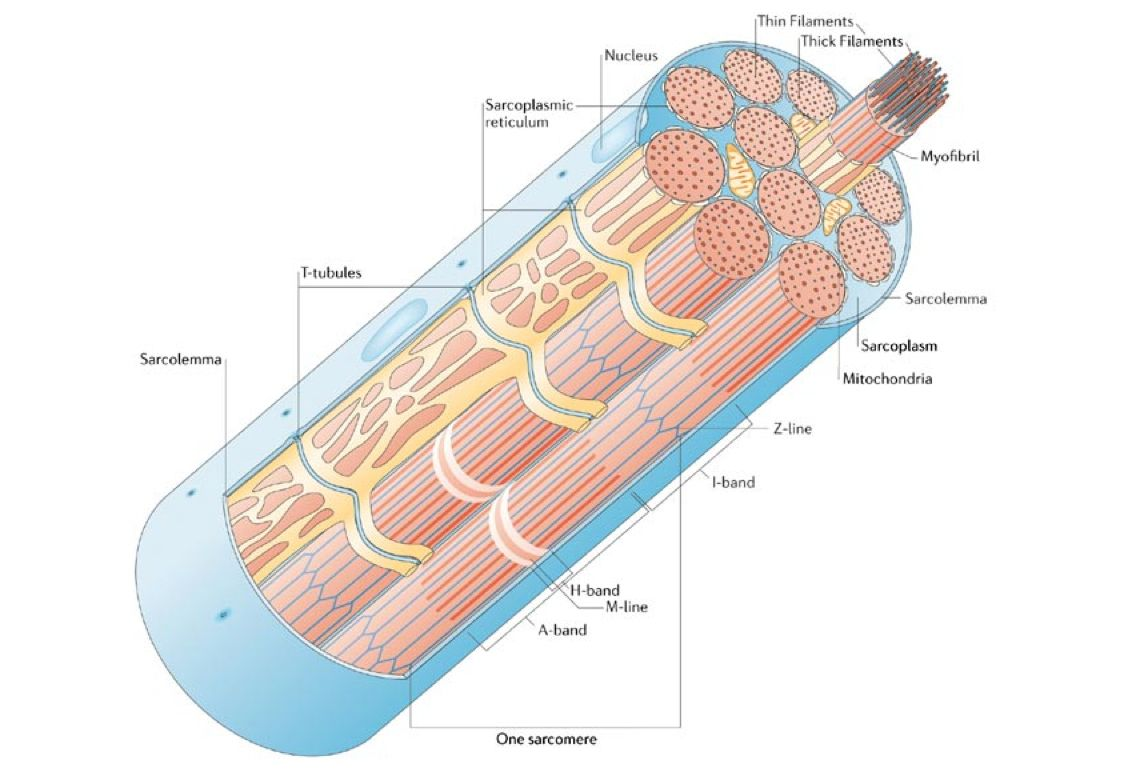 Human Muscle Cell Diagram Nordyne Furnace Wiring Anatomy Study Pinterest For Kids