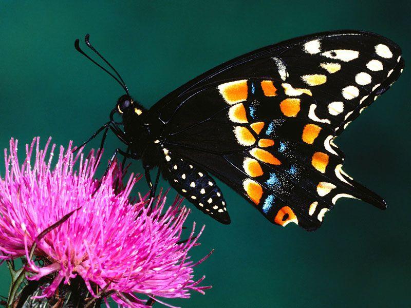 Touriadamoussi Resources And Information This Website Is For Sale Fond D Ecran Papillon Papillon Image Papillon
