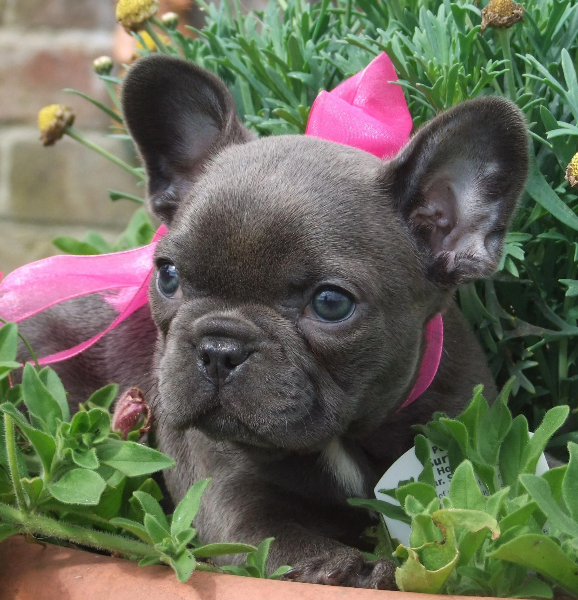 Amazing Blue French Bulldog Puppy In Flowers With Pink Ribbon