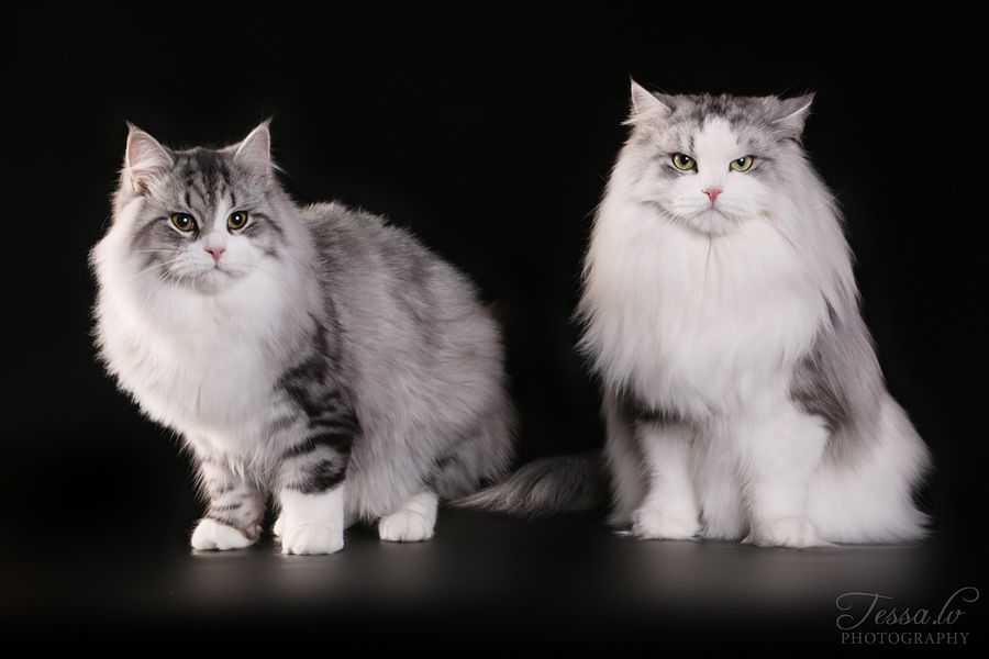Lumikissan Bandiitti Ww17 Sw Lumikissan Nopsajalka Jw Dvm Dsm Siberian Cat Animals Cats