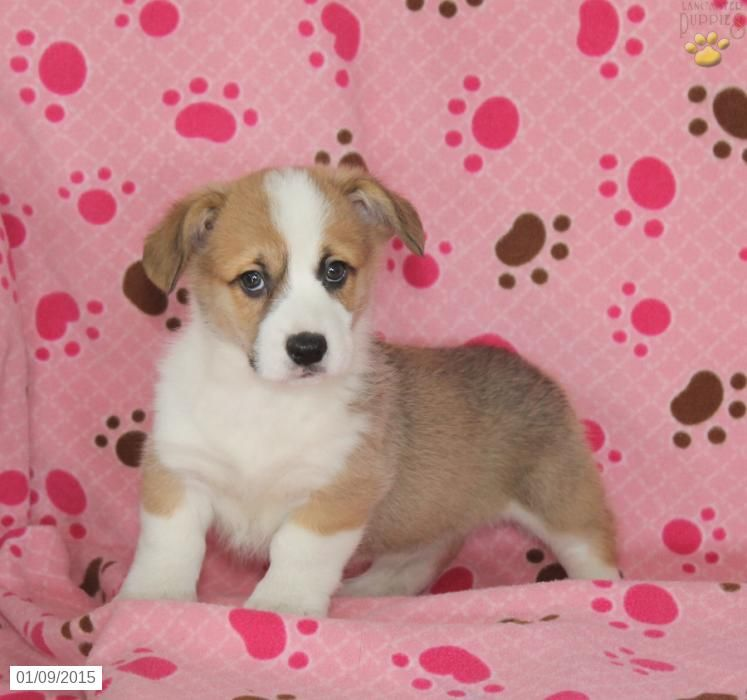 Welsh Corgi (Pembroke) Puppy for Sale in Pennsylvania