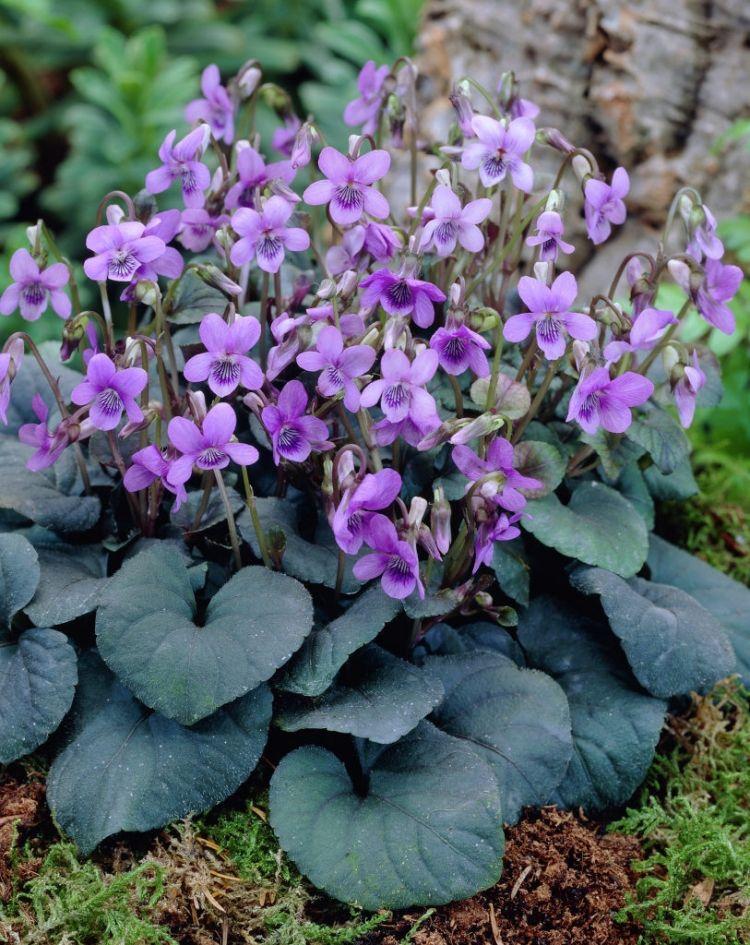 Bluhende Bodendecker Veilchen Viola Odorata Bluete Schatten