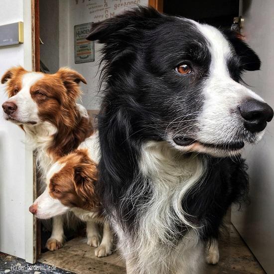 Mein Kleines Rudel Bordercollie Mypack Meinrudel Hunde Geliebtehunde Braunweisserbordercollie