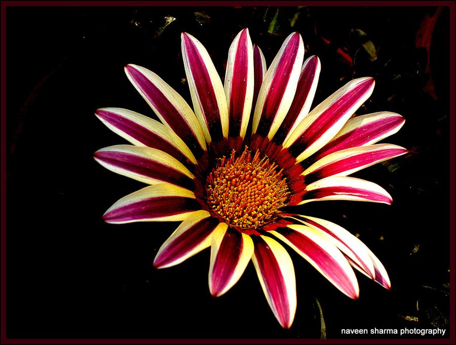 gazania beauty by naveen sharma, via 500px