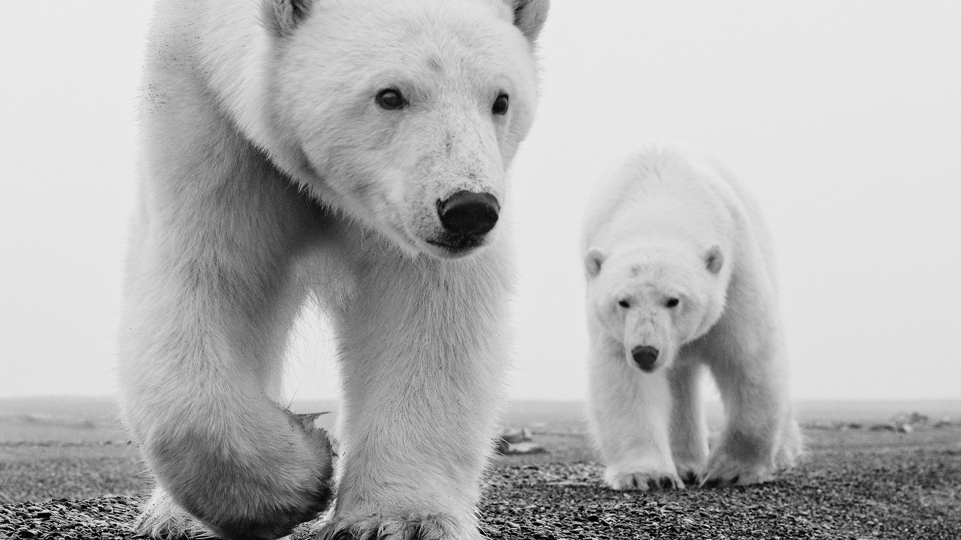 Image result for black and white photograph polar bear