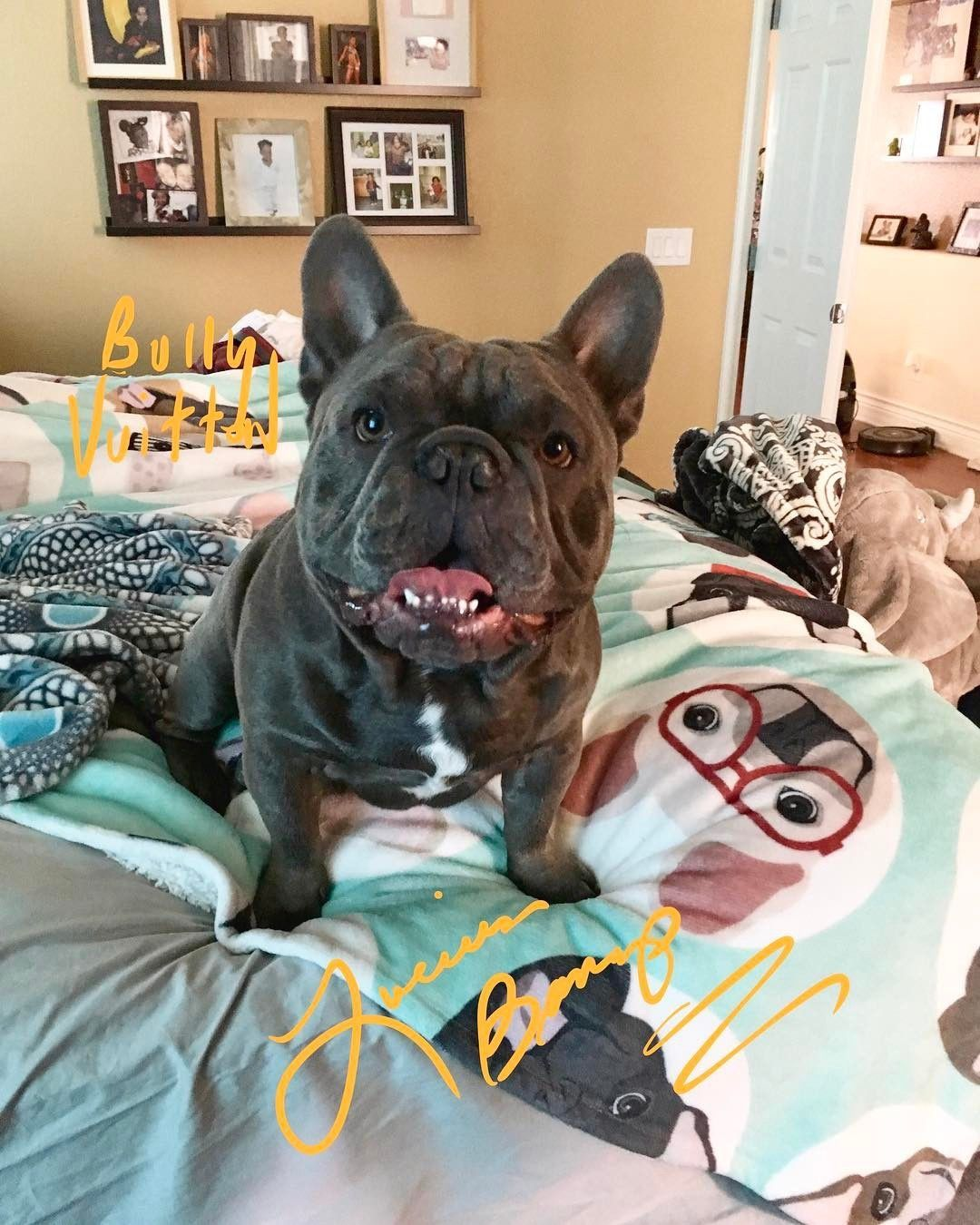 Blue french bulldogs breed information price facts
