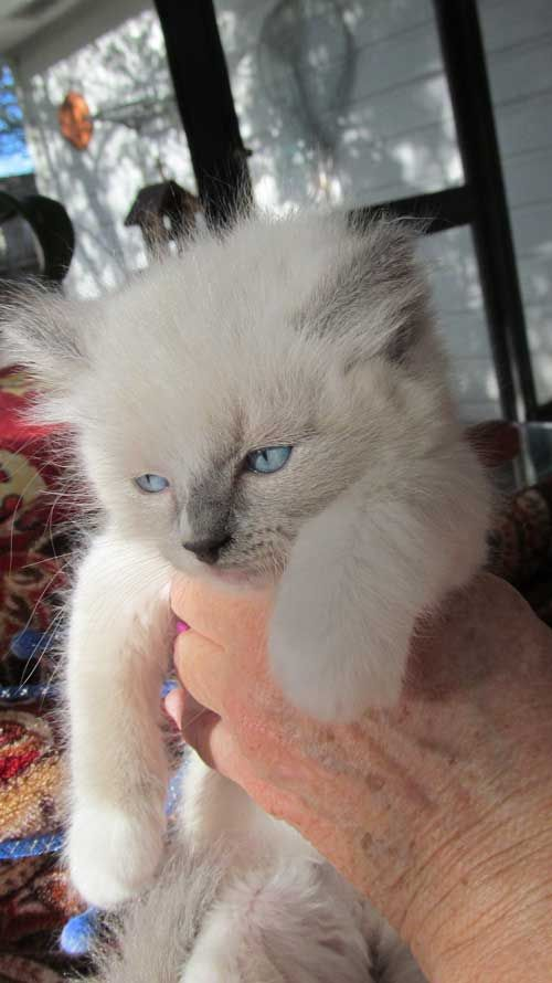 Ragdoll Kittens For Sale Houston Texas Ragdoll Kitten Kittens Ragdoll Kittens For Sale