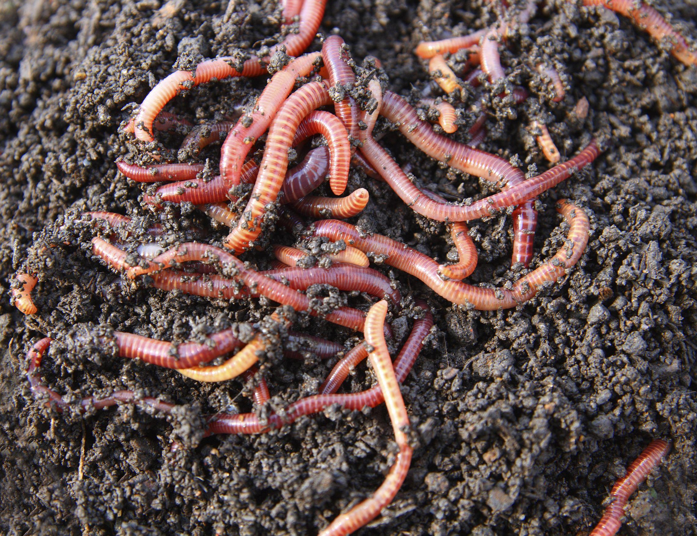 How To Compost, Worm Composting, Worm Farm, Earthworms, Urban Farming,  Organic Gardening, Organic Compost, Vegetable Garden, Garden Soil