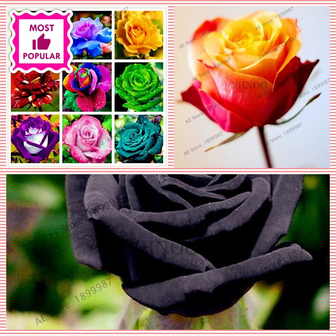 200 pcs Rare Holland Rainbow Rose Flower seeds Home Garden Rare Flower Seeds 24 color rainbow Rose Seeds #rainbowroses