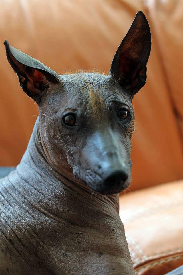 Hairless With Ears
