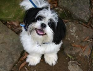 Adopt Wallace Wally On Petfinder Shih Tzu Shitzu Dogs Shih Tzu Dog