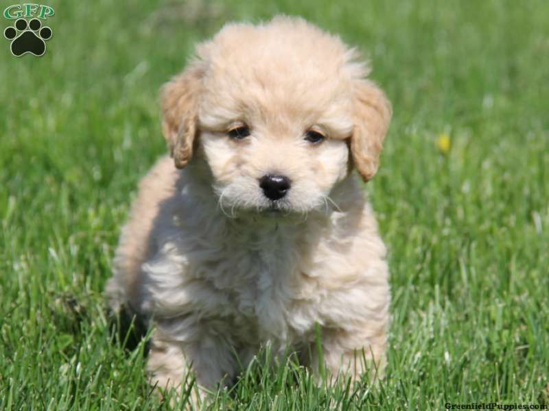 Callie Miniature Goldendoodle For Sale In East Earl Pa With Images Goldendoodle Puppies Miniature Goldendoodle Puppies
